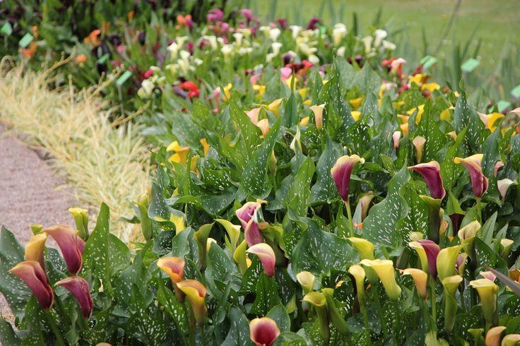 Calla-Pflanzen mit verschiedenfarbigen Blüten in einem Beet im Botanischen Garten von Breslau