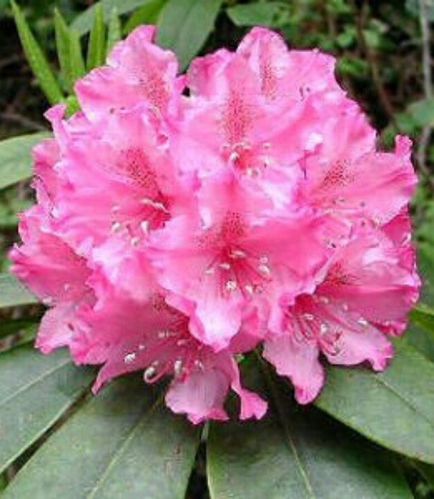 17 best images about rhododendron on pinterest sun. Black Bedroom Furniture Sets. Home Design Ideas