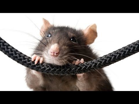 Best Toys for Rats | Pet Rats - YouTube