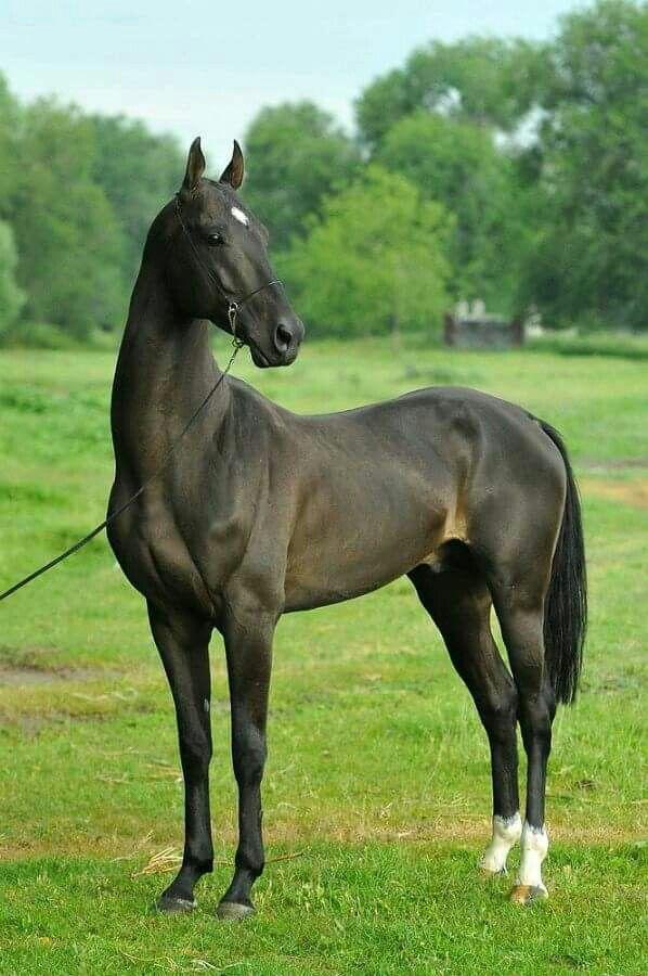 Draft Horse Breeds List 52 best * Akhal-Teke C...