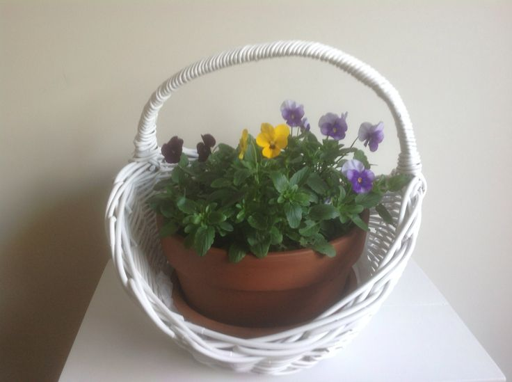 Brand new terracotta pot & saucer with a colourful selection of pansies. $30