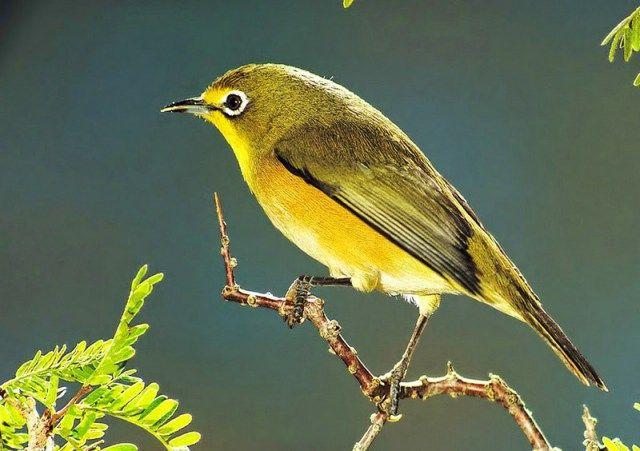 Burung Pleci Mata Coklat (Kaskus.co.id)
