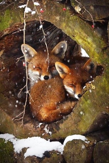 Foxes in winter                                                                                                                                                      More