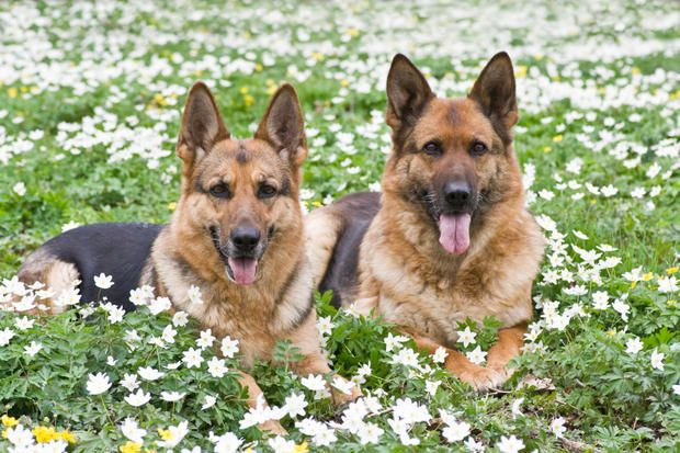 10 Noble Facts About German Shepherds | Mental Floss