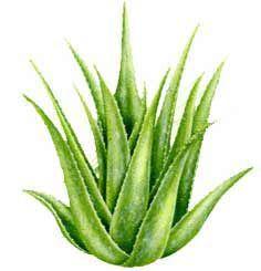 Mnohí z nás pestujú aloe vera doma bez toho, aby vedeli že majú v kvetináči…