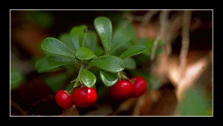 """""""Strugurii ursului"""" (Arctostaphylos uva-ursi) este un subarbust (arbust pitic) din familia Ericaceae, înrudit cu afinul și merișorul, deși dintr-un gen diferit (Arctostaphylos, spre deosebire de celelate două, care fac parte din genul Vaccinium).  Arealul de răspândire, la fel ca în cazul afinului și al merișorului..."""