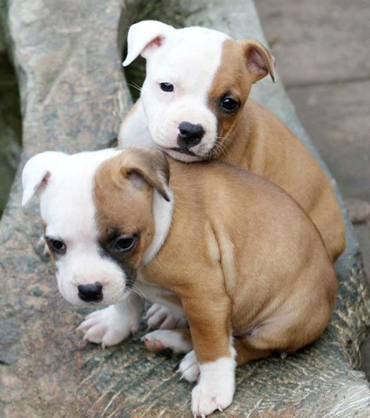 Staffordshire Bull Terrier pups - Quinlent Staffordshire Bull Terriers