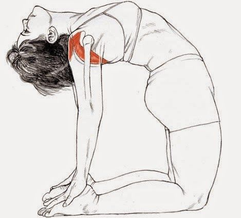 ushtrasana for stronger breasts  yoga anatomy yoga poses