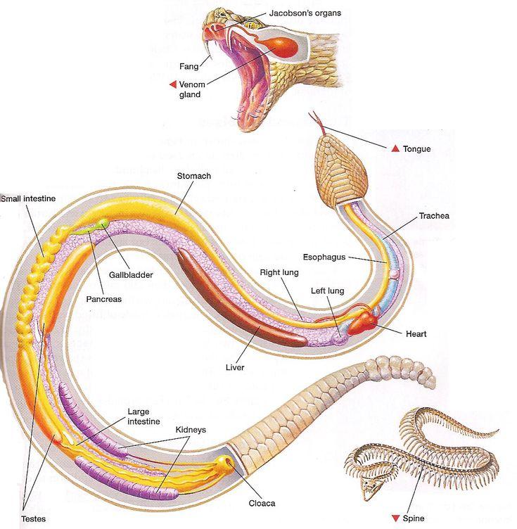 Internal anatomy of a snake