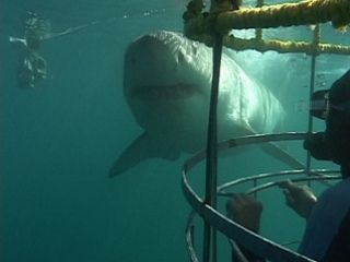 White Shark Cage Diving Mossel Bay, South Africa.