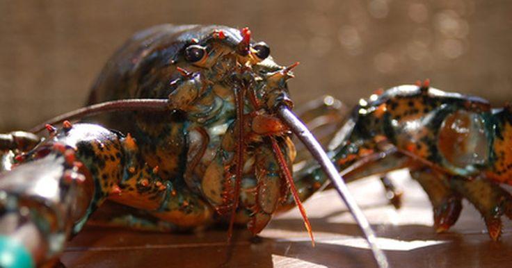 Como cozinhar lagostins. Os lagostins são crustáceos que medem cerca de 7 cm de comprimento. Esses crustáceos têm um sabor que mistura o do camarão e o da lagosta, e pode ser substituído por qualquer um deles nas receitas. A carne doce e macia dos lagostins é um complemento perfeito para molhos cremosos, saladas, cozidos e sopas. Você também pode refogar suas caudas ...
