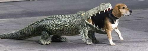 An adorable Beagle getting eaten by an alligator. Disclaimer: This is a costume not an actual beagle being eaten.