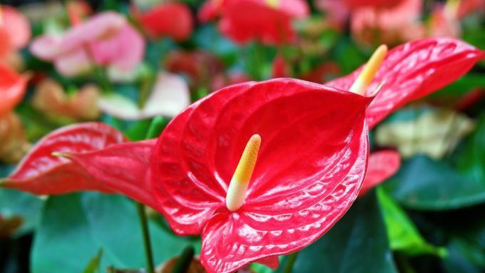Kwiaty Doniczkowe Kwitnace Caly Rok Zdjecia I Opisy Kwiatow Porady Domowe Polki Pl Flowers Plants Rose