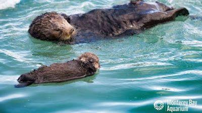 """""""O Grito do Bicho"""": Lontra-marinha ensina o filhote a nadar e cenas ca..."""