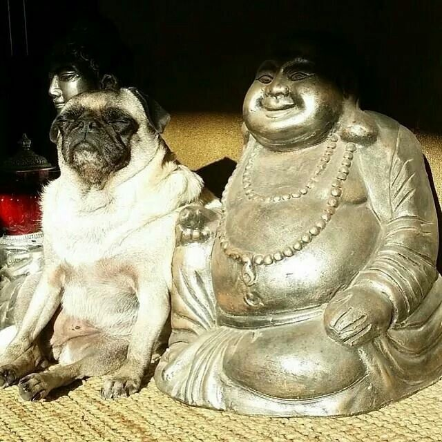 Buddhist Pug - This is definitely an all-time favorite. Namaste.