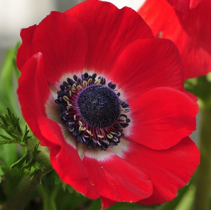 "Anemone.  According to the Victorians the Anemone means forsaken and is usually accompanied by another flower usually meaning friendship or love, creating a ""forsaken love/friendship"" meaning."