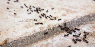 Come eliminare le formiche in modo naturale