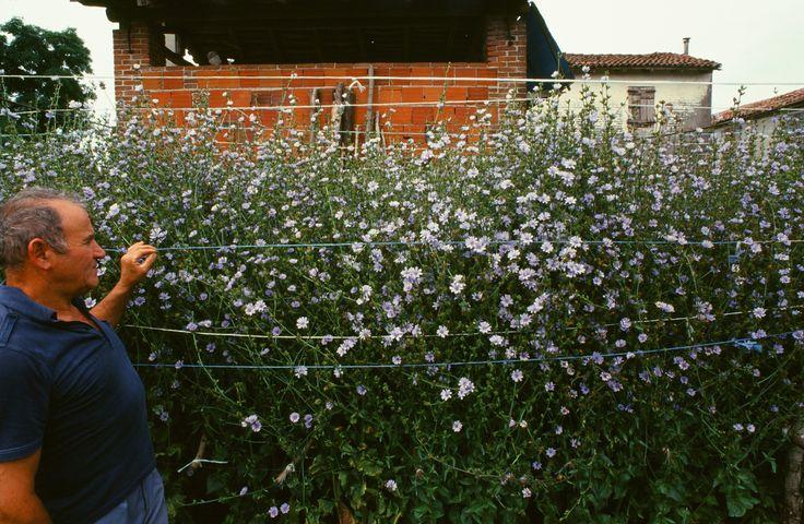 I fiori della pianta di radicchio  Radicchio Rosso di Treviso IGP