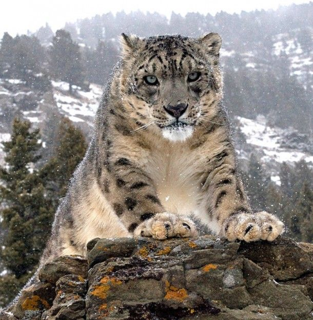 What a great photo of a snow leopard