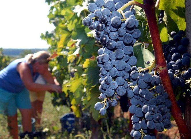 El vino es un producto que refleja las condiciones del clima y del viñedo en que fue  cosechada su uva.