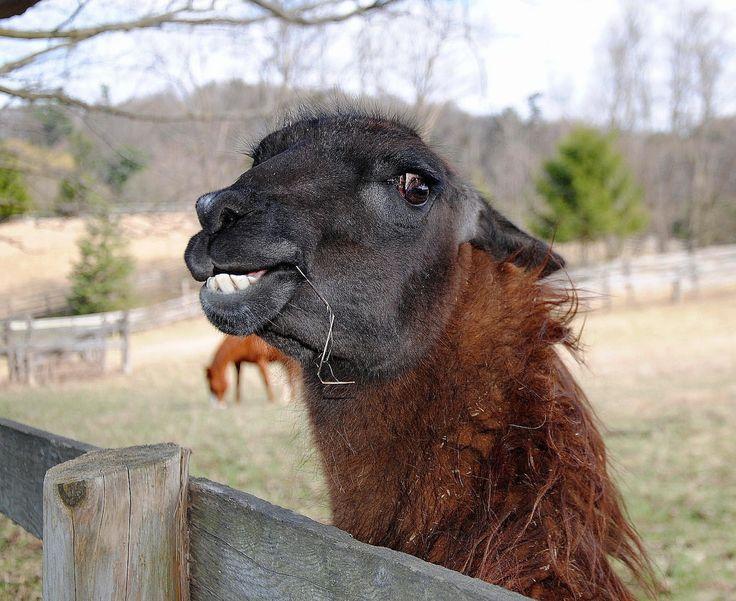EPIC FAIL - Lama spitting man in face - Llama spuckt ein Mann ins ...