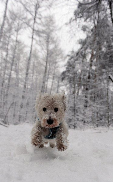 West Highland White Terrier runs through the snow in a forest near Hilden, western Germany.  Large parts of Giermany are buried under snow, ...