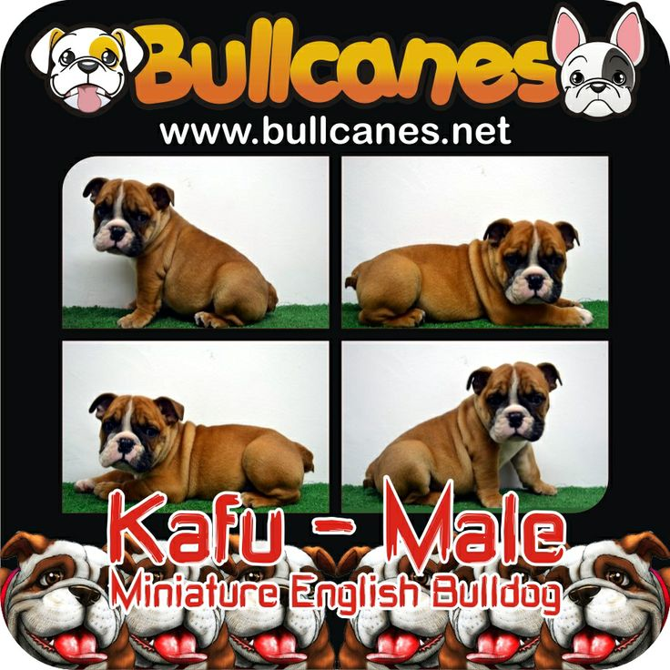 KAFU MINIATURE ENGLISH BULLDOG PUPPIES FOR SALE - MAY 2014 http://www.bullcanes.net/ Bulldog Breeders ceo@bullcanes.net bullcanes1@hotmail.com WhatsApp: +57 3113547995 Instagram: @BULLCANES Bulldog puppies for Sale TollFree: 1-888 7806050 Carolina Osorio