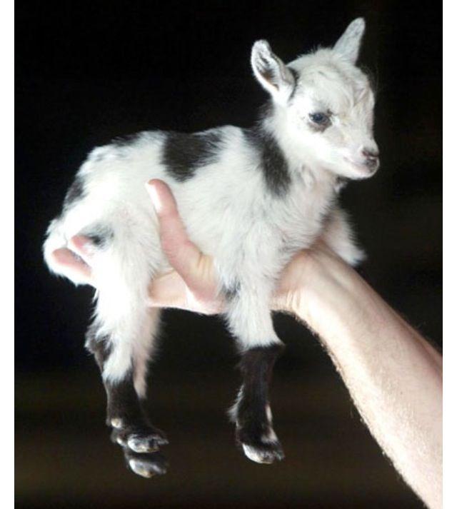 Baby pigmy goat