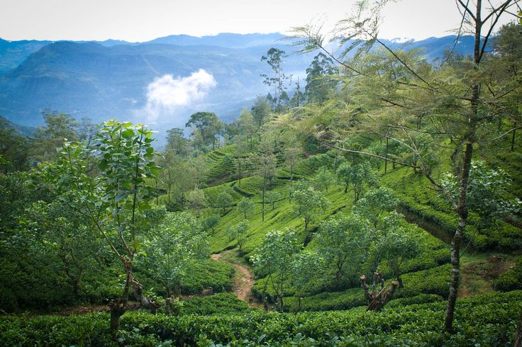 Dilmah tea is produced by a family of tea growers who care for tea from the nursery to the cup. With over 60 years in tea, Merrill J. Fernando is today the most experienced teamaker in the world. The following pages reveal some of the Dilmah tea gardens which are all a part of the Ceylon tea industry bringing you the finest tea in the world…
