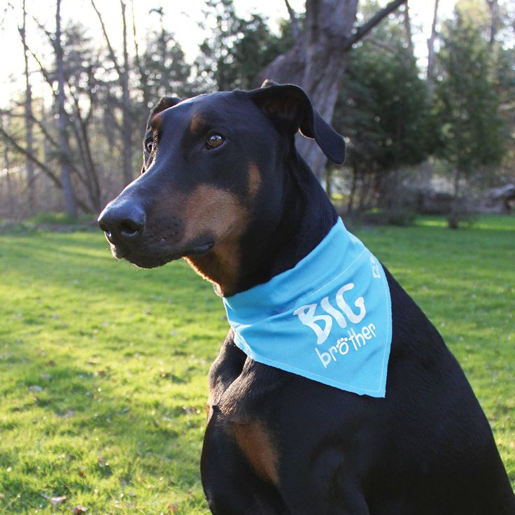 """Pavilion's Pets - """"Big Brother"""" Large Blue Canvas Slip On Collar Bandanna For Large Dogs"""