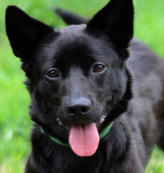 Sally-Courtesy Post for PAWS is an adoptable Corgi Dog in Portland, ME. Sally, our little action packed firecracker!!! Sally is a 1-2 yr old spunky corgi/lab mix. Sally is busy, energetic, full of cha...
