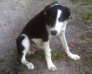 Scooter $250 is an adoptable Border Collie Dog in Bradenton, FL. 10-month-old Neutered Male Border Collie mix, Friendly, Started on Crate Training, Microchipped, 30-Day Gift from the Sanctuary of Pet ...