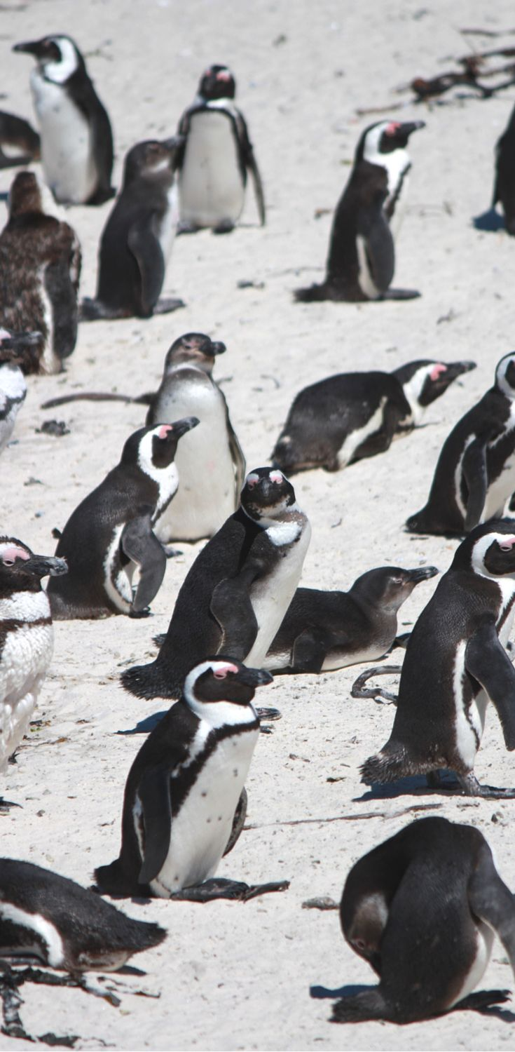 Swimming with penguins at Boulders Beach - South Africa - Non Stop Destination