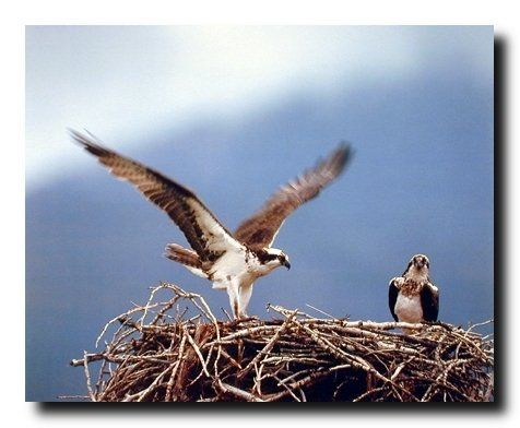 Absolutely beautiful! Add this beautiful piece of art into your home it will create a nice ambience into your home. This poster displays the image of pair of beautiful osprey fish eagle birds sitting on their nest is sure to enhance your walls with a nice visual attraction and grab lot of attention. What are you waiting for grab this charming poster for its high quality gloss finish paper with archival quality inks which ensures long lasting beauty and color fading.