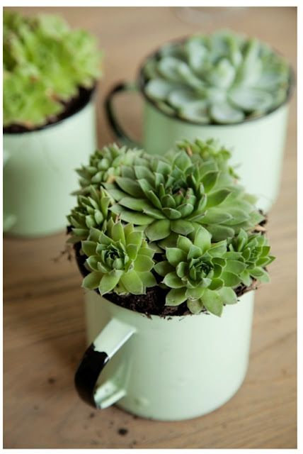 The pale shades of enamel mugs looks wonderful with succulents.