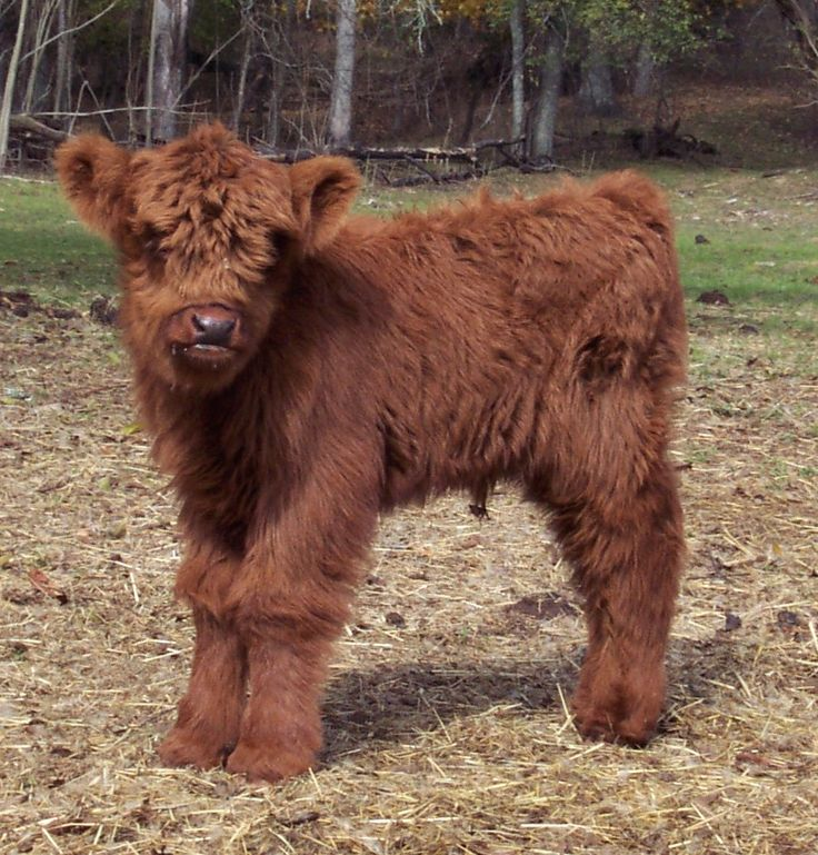 Scottish Highland calf so stinking adorable!!