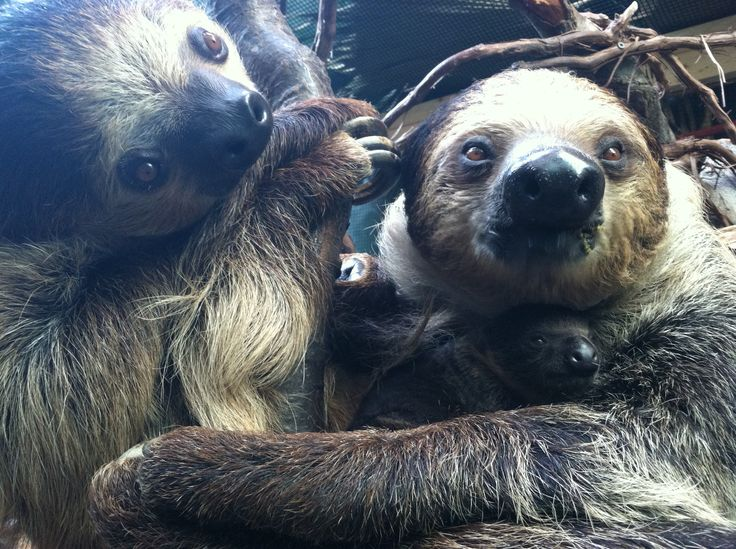 Linne's Two-Toed Sloth born at Franklin Park Zoo! http://www.zooborns.com/zooborns/2014/08/two-toed-sloth-hangs-out-with-mom-at-franklin-park-zoo.html