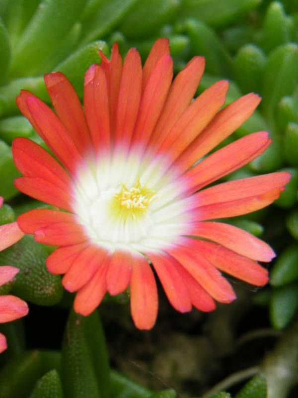 10 Best Ideas About Ice Plant On Pinterest Ground Cover