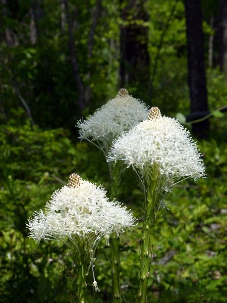 Showy Beargrass Popping Up all Over Montana http://rockymountainweekly.org/showy-beargrass-popping-up-all-over-montana/