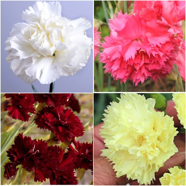 Carnation Seeds, Grenadin Double Mixture (Dianthus caryophyllus)