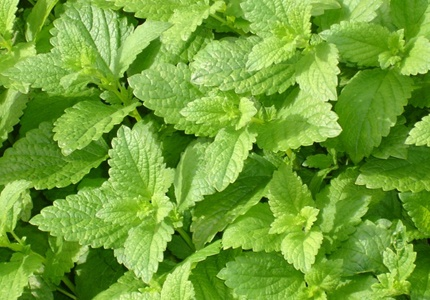 Lemon Balm also repels mosquitos