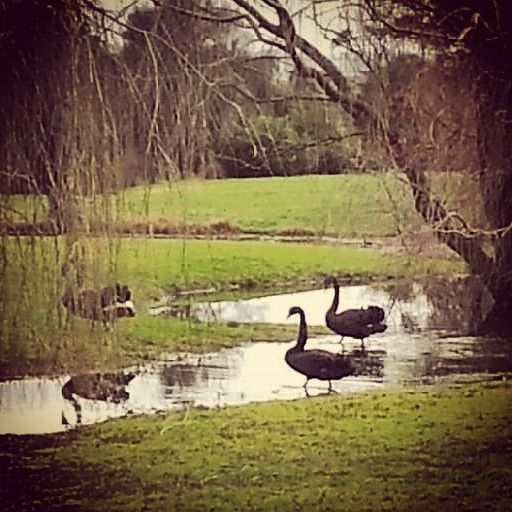 3 black swans in our lake, so graceful:)  www.stillwateratcrittenden.com.au