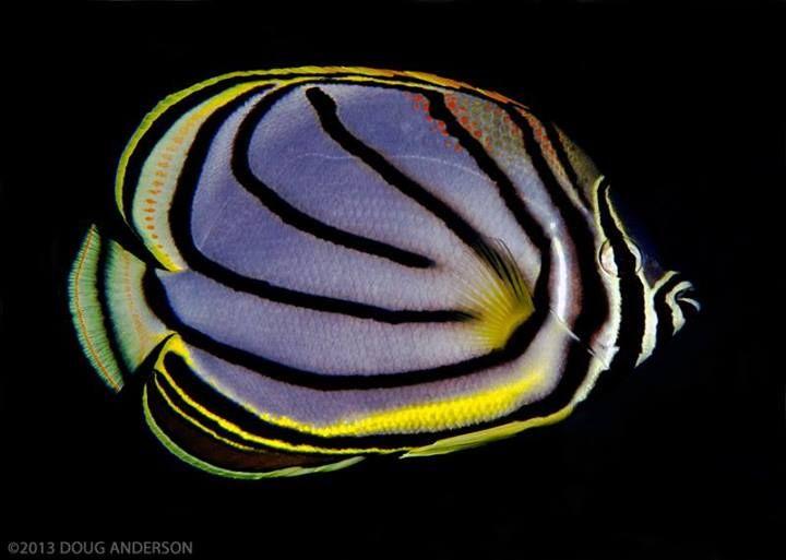 Butterflyfish, Pulau Weh