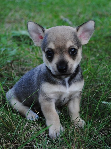 Can't figure out what breed this is! Looks like a chihuahua mix w German shepherd or something.. Very adorable! Anyone know??