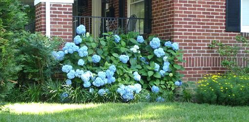Good info on pruning hydrangea (in case mine ever decide to grow)