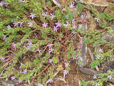 Lythrum hyssopifolia / Small Loosestrife