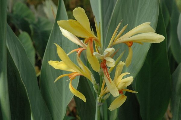 CANNA `PATONYELLOW ORANGE CENTER (BARE ROOT)