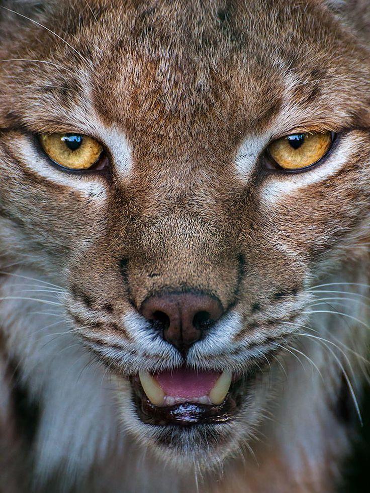 Lynx closeup by Johannes Wapelhorst on 500px