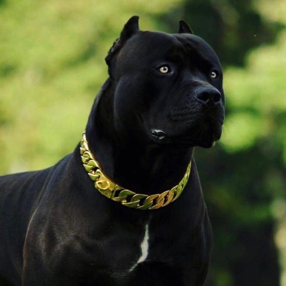 Meet Your Posher Bobby With Images Dogs Corso Dog Pitbull