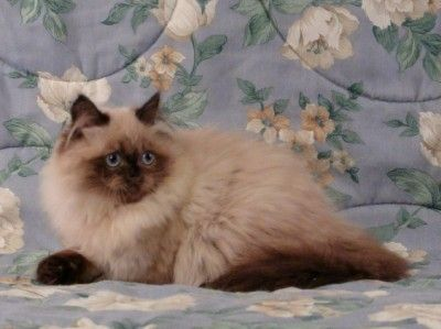 Himalayan cat rescue connecticut
